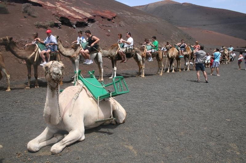 parque-timanfaya camellos